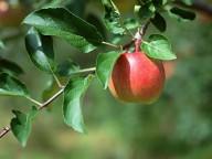 Müügimees ei viitsinud küpset õuna ära noppida